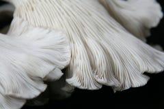 De oester schiet 1 als paddestoelen uit de grond Royalty-vrije Stock Afbeeldingen