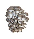 De oester van Pleurotus royalty-vrije stock foto's