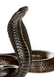 De ofEgyptian cobra van de close-up tegen witte achtergrond Stock Foto