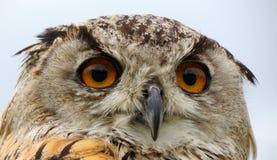 De ogen en de bek van Eagle Owl stock afbeelding