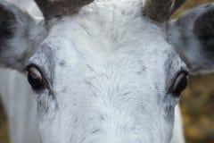De ogen en snuit de witte herten Royalty-vrije Stock Afbeeldingen