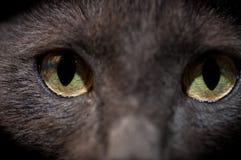 De ogen van de Chartreuxkat sluiten omhoog geschoten Royalty-vrije Stock Afbeeldingen