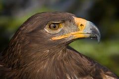 De ogen van de adelaar Royalty-vrije Stock Afbeelding