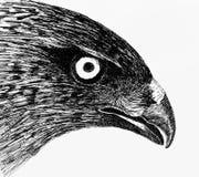 De ogen van de adelaar Stock Foto's