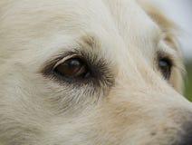 De ogen van de golden retrieverhond Stock Afbeeldingen