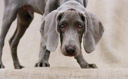De ogen van de hond Royalty-vrije Stock Foto's