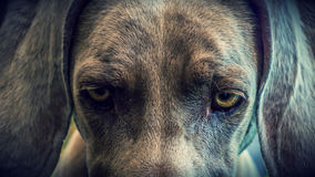 De ogen van de hond Stock Afbeeldingen