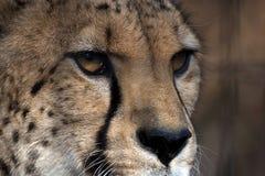 De ogen van de jachtluipaard Stock Foto's