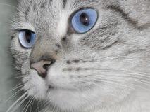 De ogen van de kat stock afbeelding