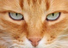 De ogen van de kat Stock Foto