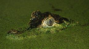 De ogen van de krokodil stock foto
