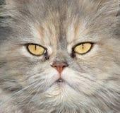 De ogen van de Perzische kat Stock Afbeelding