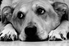 De Ogen van de puppyhond Royalty-vrije Stock Foto's