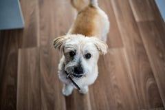 De Ogen van de puppyhond Stock Foto's