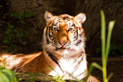 De ogen van de tijger Royalty-vrije Stock Afbeeldingen