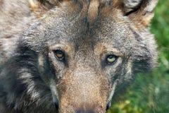 De ogen van de wolf royalty-vrije stock foto's