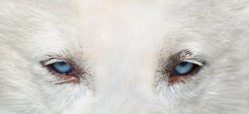 De ogen van de wolf Stock Foto
