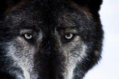 De Ogen van de wolf Royalty-vrije Stock Afbeeldingen