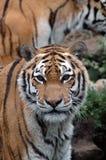 De ogen van een tijger stock foto