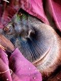 De ogen van het orangoetangezicht het kijken Stock Foto's