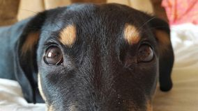 de ogen van hond zijn Cu Stock Afbeeldingen