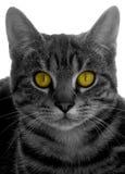 De ogen van katten stock afbeelding