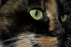 De ogen van katten royalty-vrije stock fotografie