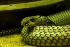 De ogen van Koning Cobra zijn afschuwelijk royalty-vrije stock fotografie