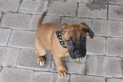 De Ogen van de puppyhond royalty-vrije stock afbeelding