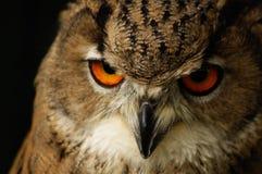 De ogen van uilen Stock Afbeeldingen