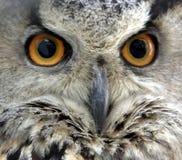 De ogen van uilen stock fotografie