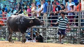 De oidentifierade männen kontrollerar deras buffel för att köra i en tävlings- sport, och de oidentifierade byinvånarna hurrar up Arkivbilder