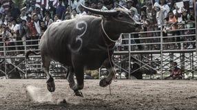 De oidentifierade männen kontrollerar deras buffel för att köra i en tävlings- sport, och de oidentifierade byinvånarna hurrar up Royaltyfria Bilder