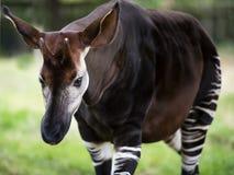 De Okapi als de bosgiraf of gestreepte giraf wordt bekend die Royalty-vrije Stock Fotografie