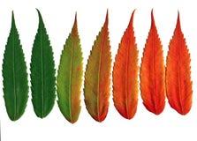 De okkernoot verlaat veranderende kleuren Stock Foto's