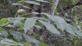 De okkernootboom onder de regen daalt stock footage
