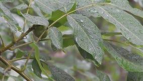 De okkernootboom onder de regen daalt stock video