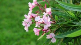 De oleander is eeuwigdurende altijdgroene struik stock footage