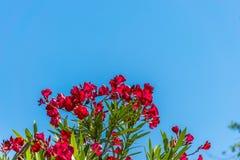 De oleander groeit in een heet klimaat stock foto
