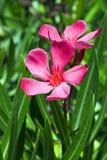 De oleander van Nerium Royalty-vrije Stock Foto's