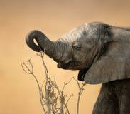 De olifant die van de baby voor tak bereikt stock afbeelding