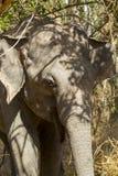 De olifant die van Srilankan zich in de struik bevinden Stock Afbeelding