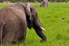De olifant en Starling Royalty-vrije Stock Afbeelding