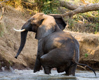 De olifant loopt weg zambia Lager Zambezi Nationaal Park Zambezi Rivier Royalty-vrije Stock Fotografie