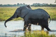 De olifant rekt boomstam uit terwijl het waden door rivier royalty-vrije stock foto's