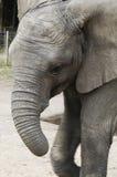 De Olifant van Afrika (africana Loxodonta) Royalty-vrije Stock Afbeelding