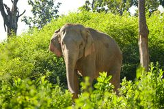 De olifant van Azië Stock Afbeeldingen