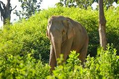 De olifant van Azië Royalty-vrije Stock Afbeelding
