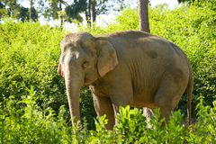 De olifant van Azië Royalty-vrije Stock Foto's