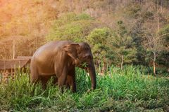 De olifant van Azië in Thailand Stock Foto